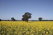 Blue Grapes Photos - Canola Country Australia by Mary  Sablovs