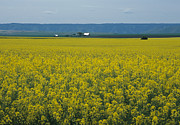 Office Decor Photos - Canola Fields Forever by Sharon Elliott