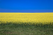 Agronomy Photos - Canola by Roderick Bley