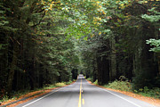 Avenue Of The Giants Prints - Canopy and Road Print by Lucy Basch
