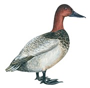 Close-up Drawings - Canvasback duck  by Anonymous