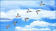 LeeAnn McLaneGoetz McLaneGoetzStudioLLCcom - Canvasback Ducks in Flight