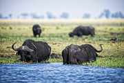 Cape Buffalo Prints - Cape Bison Feeding on the River Edge Print by Paul W Sharpe Aka Wizard of Wonders