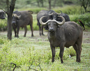 Cape Buffalo Prints - cape buffalo	   Syncerus caffer Print by Carol Gregory
