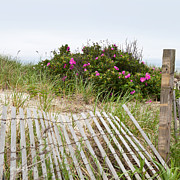 Beach Roses Prints - Cape Cod Beach Roses Print by Michelle Wiarda