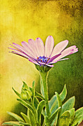Floral Digital Art Posters - Cape Daisy Poster by Lois Bryan