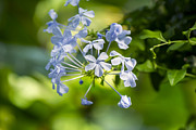 Gardening Photography Posters - Cape Leadwort - Bloedel Conservatory Poster by May L