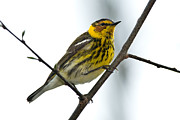 Setophaga Framed Prints - Cape May Warbler 9987 Framed Print by Paul Reeves