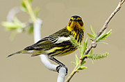 Larry Bird Art - Cape May Warbler by Larry Ricker