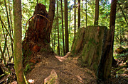 Fir Trees Photos - Capilano River Canyon 2 by Terry Elniski
