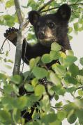Black Bear Climbing Tree Posters - Captive Black Bear Cub Climbing Birch Poster by Michael DeYoung