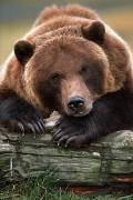 Alaska Wildlife Photos - Captive Brown Bear Rests With It Front by Doug Lindstrand
