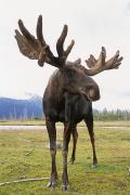 Alaska Wildlife Photos - Captive Bull Moose At The Alaska by Doug Lindstrand