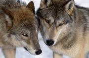 Beautiful Wolf Prints - Captive Close Up Wolves Interacting Print by Steven Kazlowski