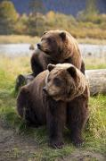 Alaska Wildlife Photos - Captive Two Brown Bears Sitting by Doug Lindstrand