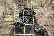 Gorilla Framed Prints - Captivity Framed Print by Tom Mc Nemar