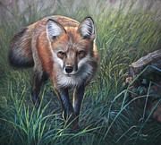 Fox Pastels Prints - Captured Gaze Print by Deb LaFogg-Docherty
