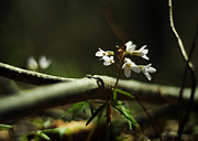 Forest Floor Photo Posters - Cardamine Concatenata Cutleaf Toothwort Poster by Rebecca Sherman