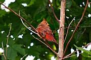 Cardinals. Wildlife. Nature. Photography Posters - Cardinal Bird Baby Poster by Peggy  Franz