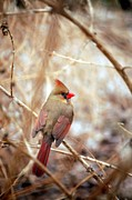 Cardinals. Wildlife. Nature. Photography Photos - Cardinal Birds Female by Peggy  Franz
