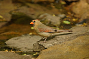 Female Northern Cardinal Posters - Cardinal by the Pond Poster by Sandy Keeton
