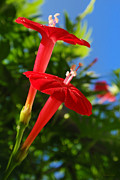 Summer Flower Vine Framed Prints - Cardinal Climber Flowers Framed Print by Christina Rollo