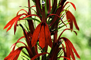Lobelia Framed Prints - Cardinal Flower Framed Print by Thomas R Fletcher