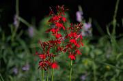 Bonfire Photography - Cardinal Flowers