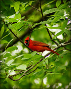 City Scapes Greeting Cards Prints - Cardinal in a Sea of Green Print by Carol Toepke