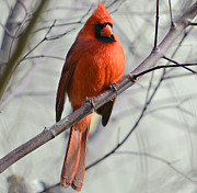 Cardinal In A Tree Print by Susan Leggett