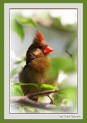Travis Truelove Photography Posters - Cardinal in Dogwood Poster by Travis Truelove