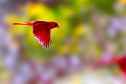 Cardinal In Flight Print by Dan Friend