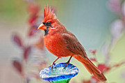 Male Northern Cardinal Posters - Cardinal in Pats Garden Poster by Bonnie Barry