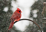 Jinx Farmer - Cardinal in Snow