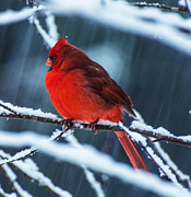 Cardinal In Snow Prints - Cardinal In Snow Print by John Harding Photography