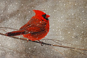 Red Bird In Snow Posters - Cardinal in Snow Poster by Lois Bryan