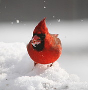 Ramona Edwards - Cardinal in Snow