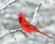 Male Cardinals In Snow Posters - Cardinal in Snowstorm Poster by Peg Runyan