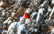 Cindy Croal - Cardinal in Snowy Tree