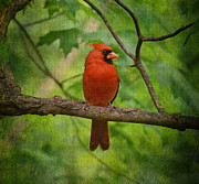 Feathered Creature Framed Prints - Cardinal in Spring Framed Print by Sandy Keeton