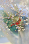 Northern Cardinal Photo Prints - Cardinal In The Pussy Willows Print by Tom York