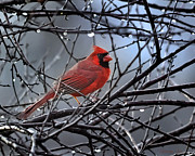 First Place Prints - Cardinal in the Rain   Print by Nava Jo Thompson