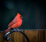 Susan Edens - Cardinal in the Rain
