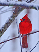 Red Bird In Snow Posters - Cardinal In The Snow Poster by John Harding Photography