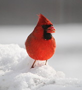 Ramona Edwards - Cardinal in the Snow