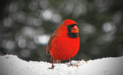 Sandi Oreilly Art - Cardinal In The Snow by Sandi OReilly