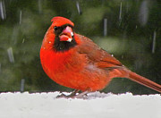 Sandi OReilly - Cardinal In The Snowstorm