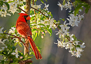 Nava Jo Thompson Posters - Cardinal in the Springtime Poster by Nava Jo Thompson