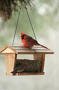 Kelly Frye - Cardinal in the Winter