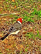 Cardinal In Thought Print by Tiffany Baltrus